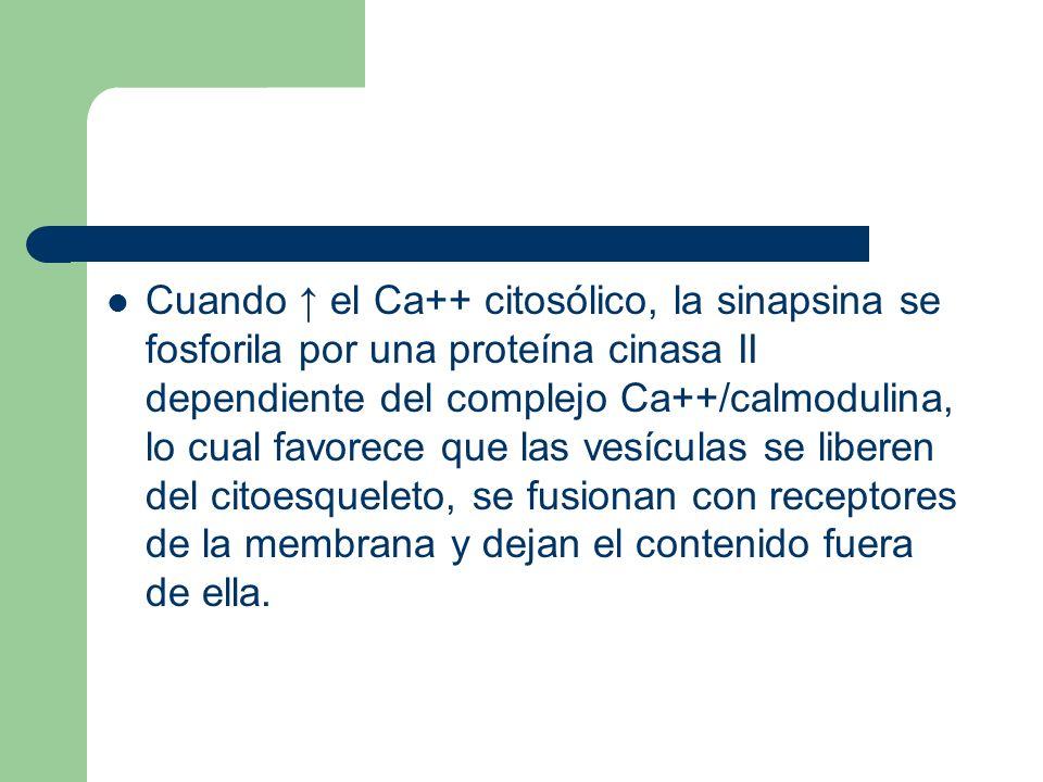 Cuando ↑ el Ca++ citosólico, la sinapsina se fosforila por una proteína cinasa II dependiente del complejo Ca++/calmodulina, lo cual favorece que las vesículas se liberen del citoesqueleto, se fusionan con receptores de la membrana y dejan el contenido fuera de ella.