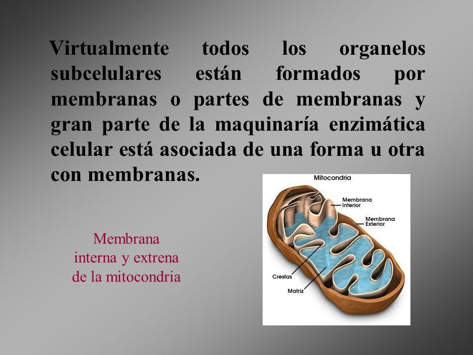 Membrana interna y extrena de la mitocondria