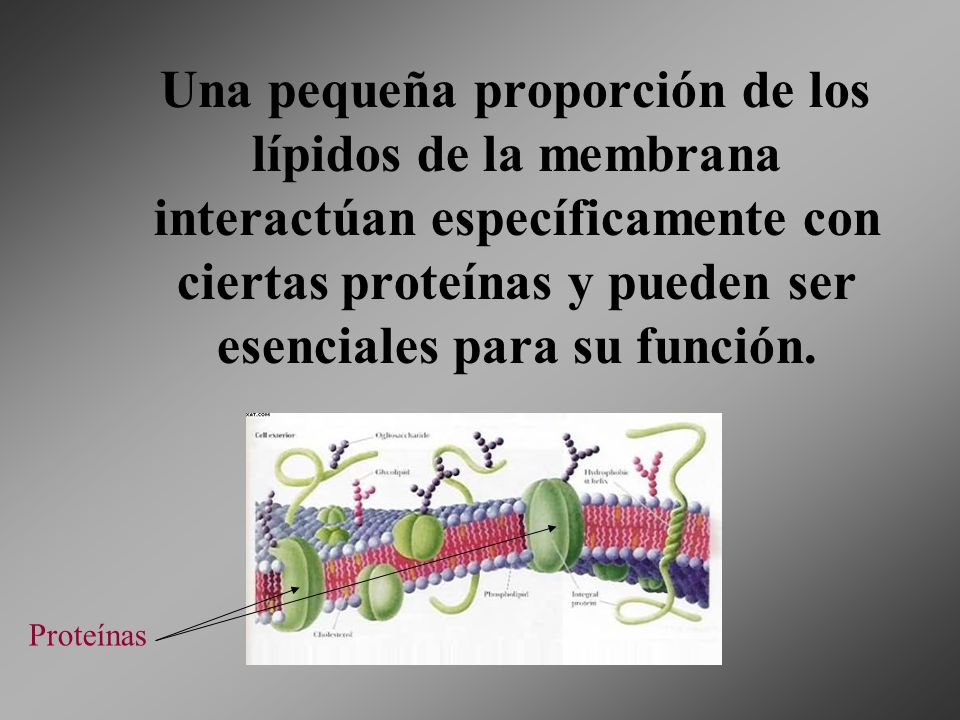 Una pequeña proporción de los lípidos de la membrana interactúan específicamente con ciertas proteínas y pueden ser esenciales para su función.