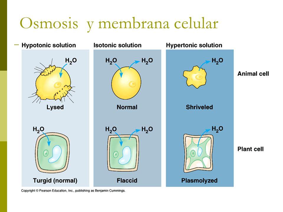 Osmosis y membrana celular