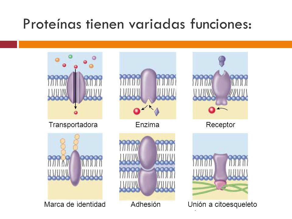 Proteínas tienen variadas funciones: