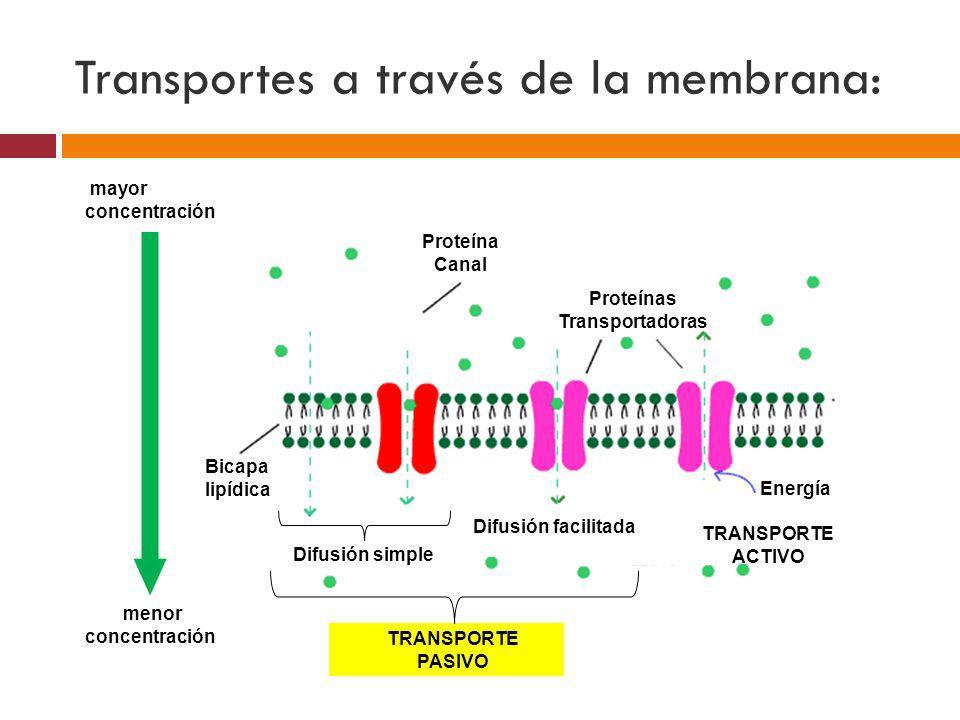 Transportes a través de la membrana: