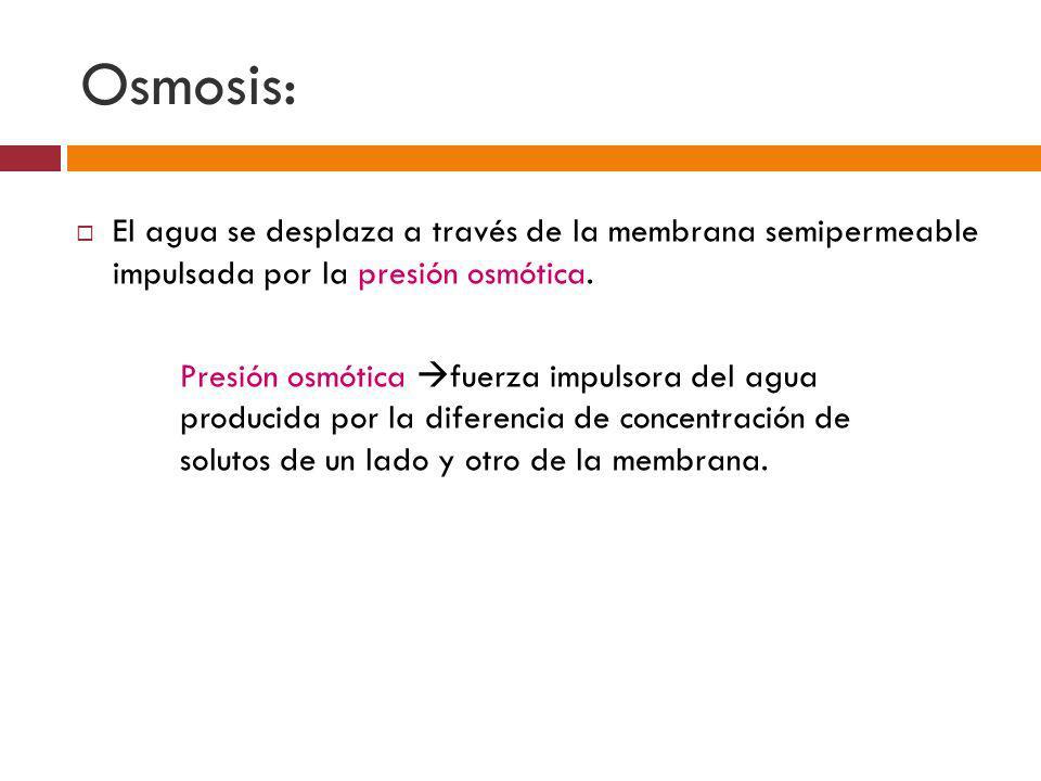 Osmosis: El agua se desplaza a través de la membrana semipermeable impulsada por la presión osmótica.