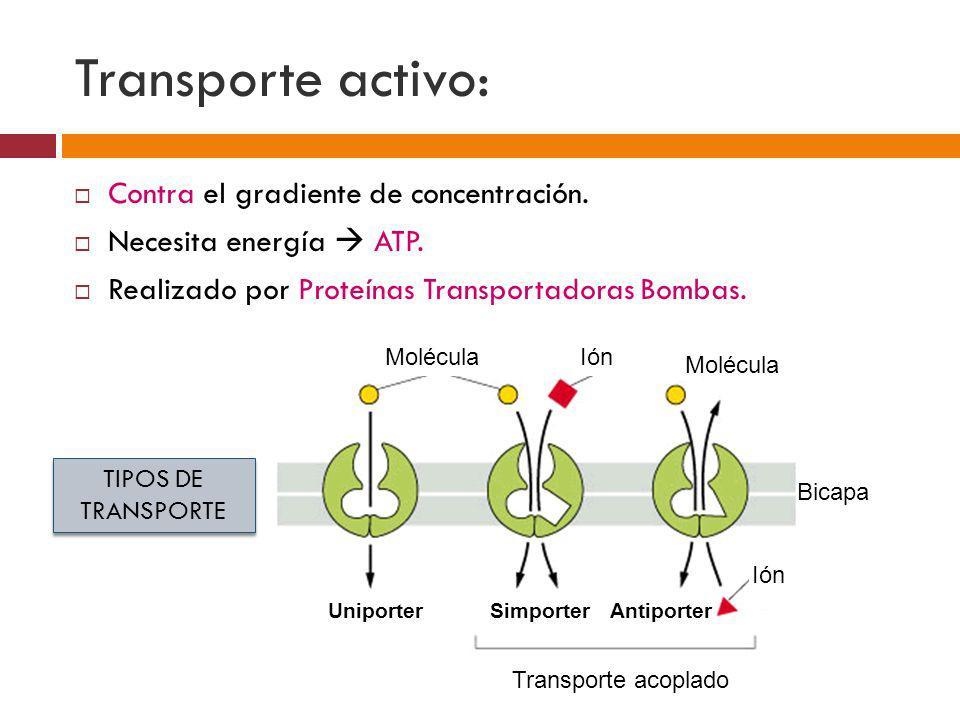 Transporte activo: Contra el gradiente de concentración.