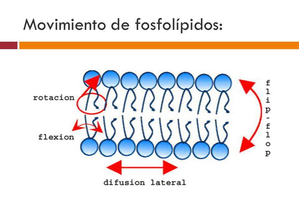 Movimiento de fosfolípidos: