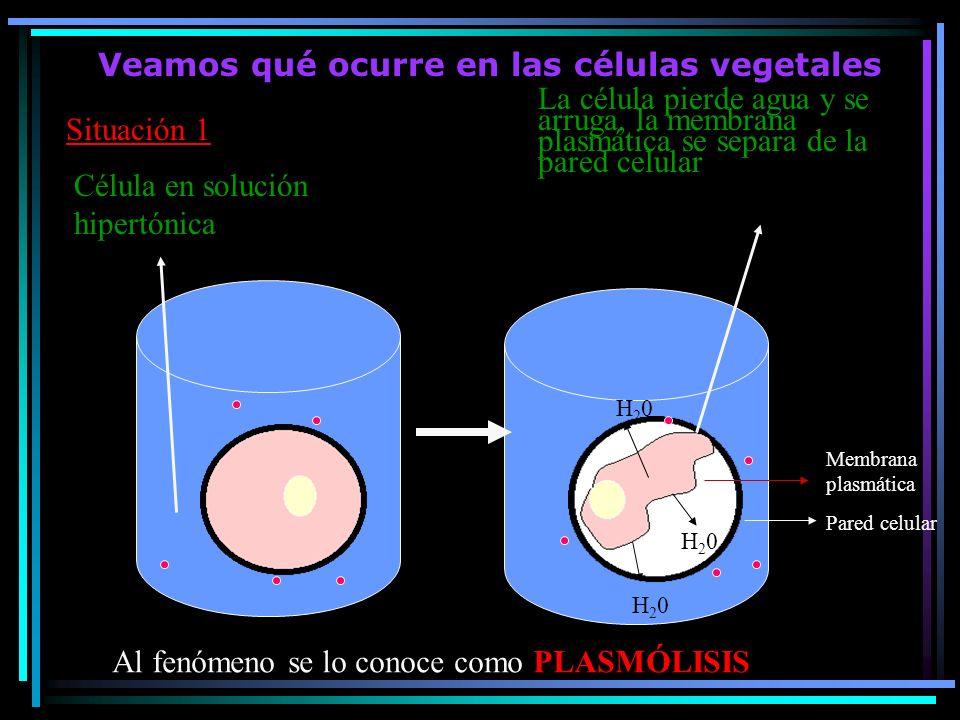 Veamos qué ocurre en las células vegetales