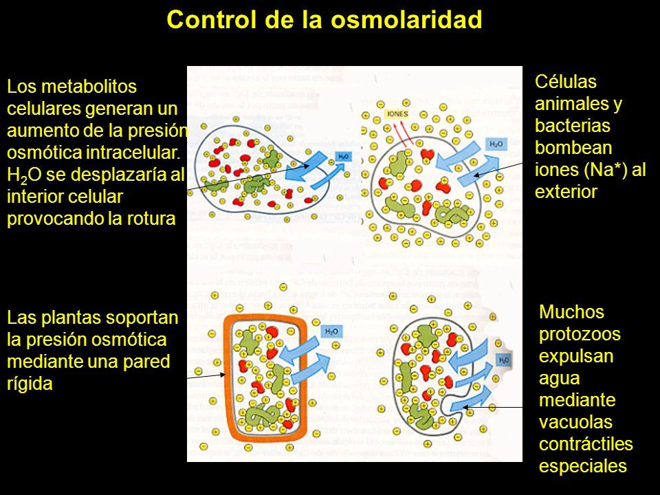 Control de la osmolaridad celular