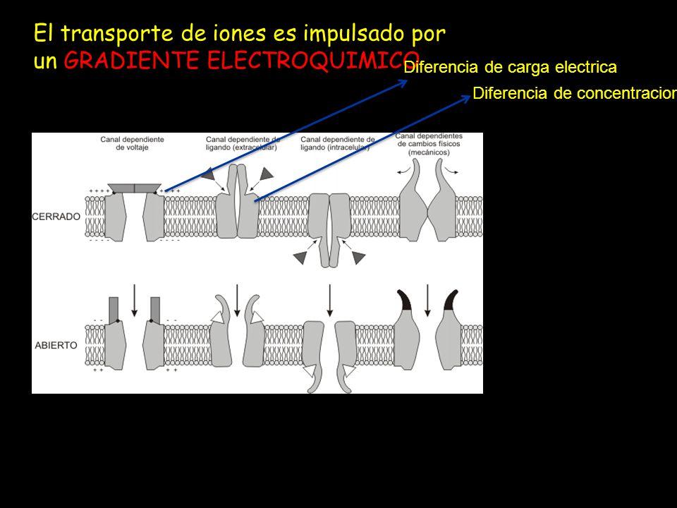 El transporte de iones es impulsado por un GRADIENTE ELECTROQUIMICO