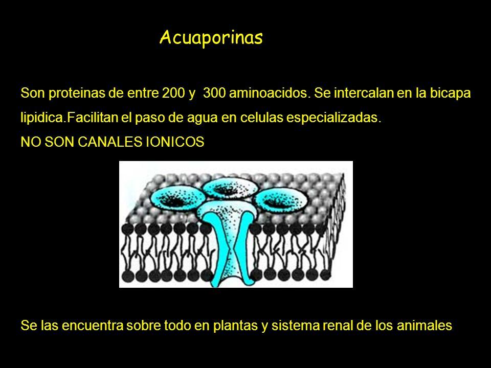 Acuaporinas Son proteinas de entre 200 y 300 aminoacidos. Se intercalan en la bicapa. lipidica.Facilitan el paso de agua en celulas especializadas.