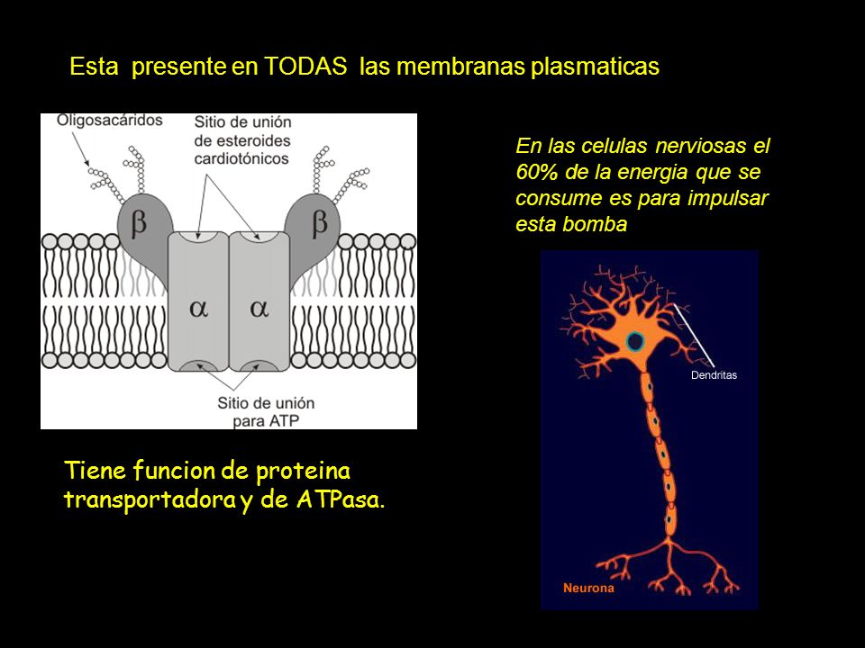 Esta presente en TODAS las membranas plasmaticas