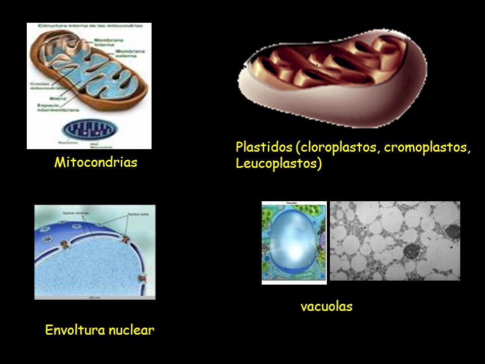 Plastidos (cloroplastos, cromoplastos,