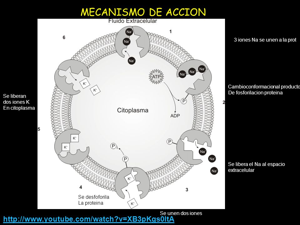 MECANISMO DE ACCION http://www.youtube.com/watch v=XB3pKgs0ltA