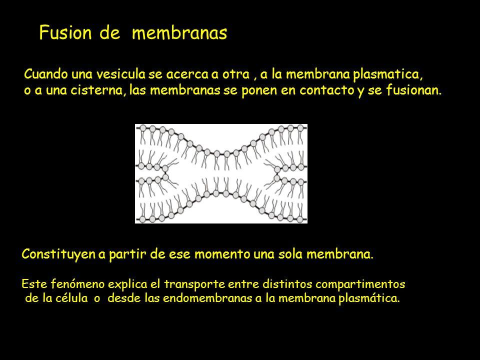 Fusion de membranas: Cuando una vesicula se acerca a otra , a la membrana plasmatica,