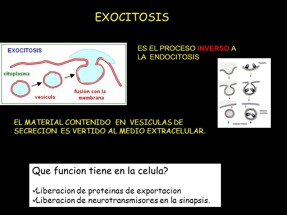 EXOCITOSIS Que funcion tiene en la celula