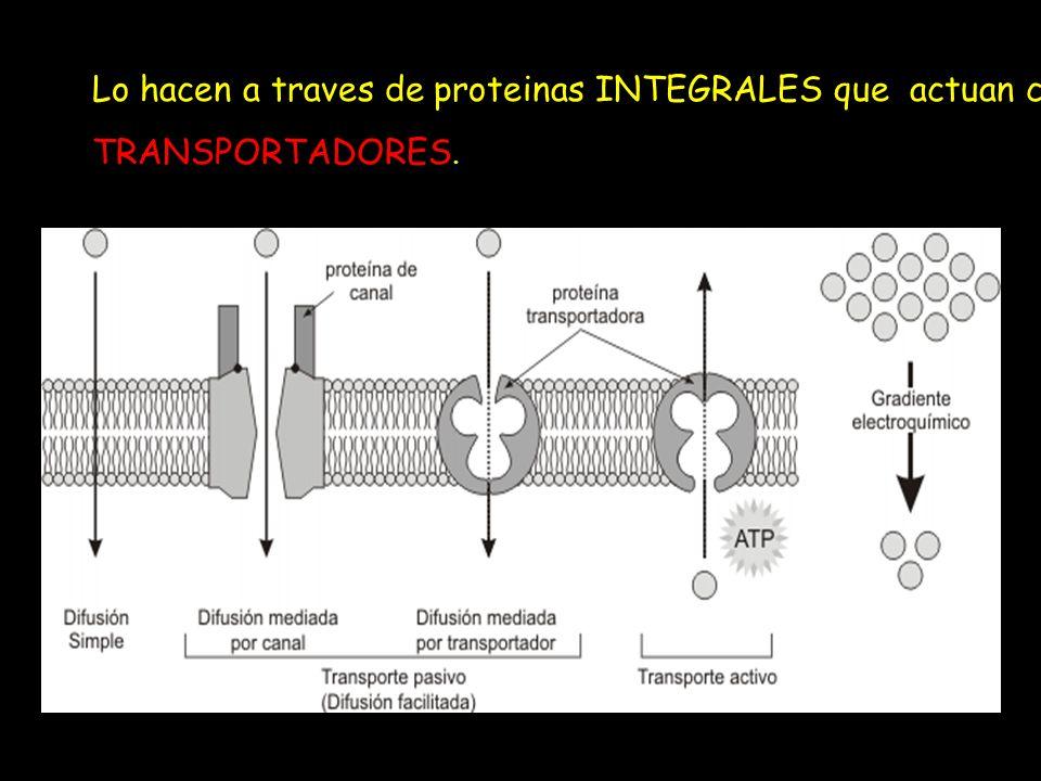 Lo hacen a traves de proteinas INTEGRALES que actuan como