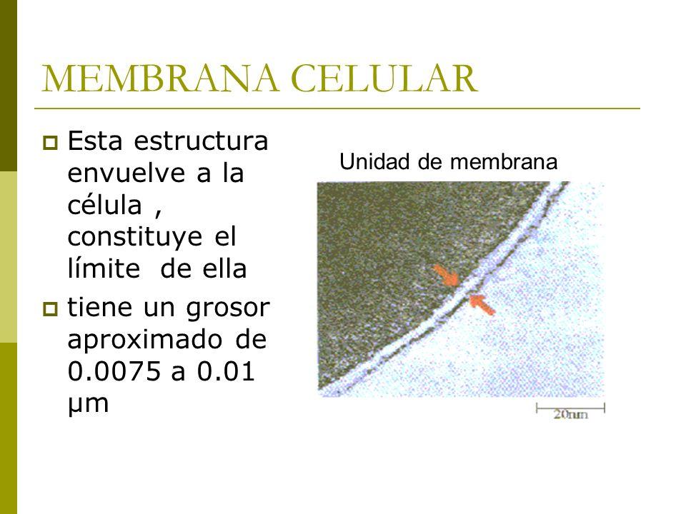 MEMBRANA CELULAR Esta estructura envuelve a la célula , constituye el límite de ella. tiene un grosor aproximado de 0.0075 a 0.01 µm.