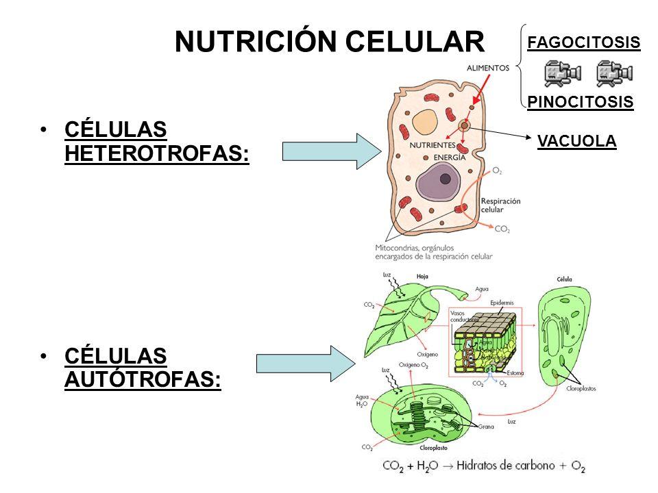NUTRICIÓN CELULAR CÉLULAS HETEROTROFAS: CÉLULAS AUTÓTROFAS: