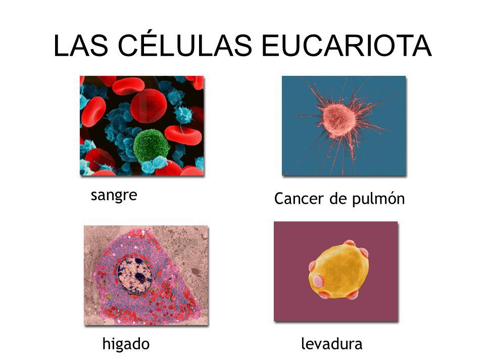 LAS CÉLULAS EUCARIOTA sangre Cancer de pulmón higado levadura