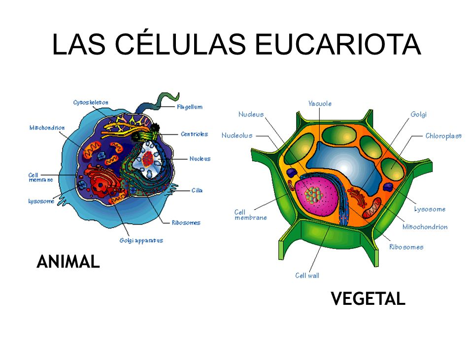 LAS CÉLULAS EUCARIOTA ANIMAL VEGETAL