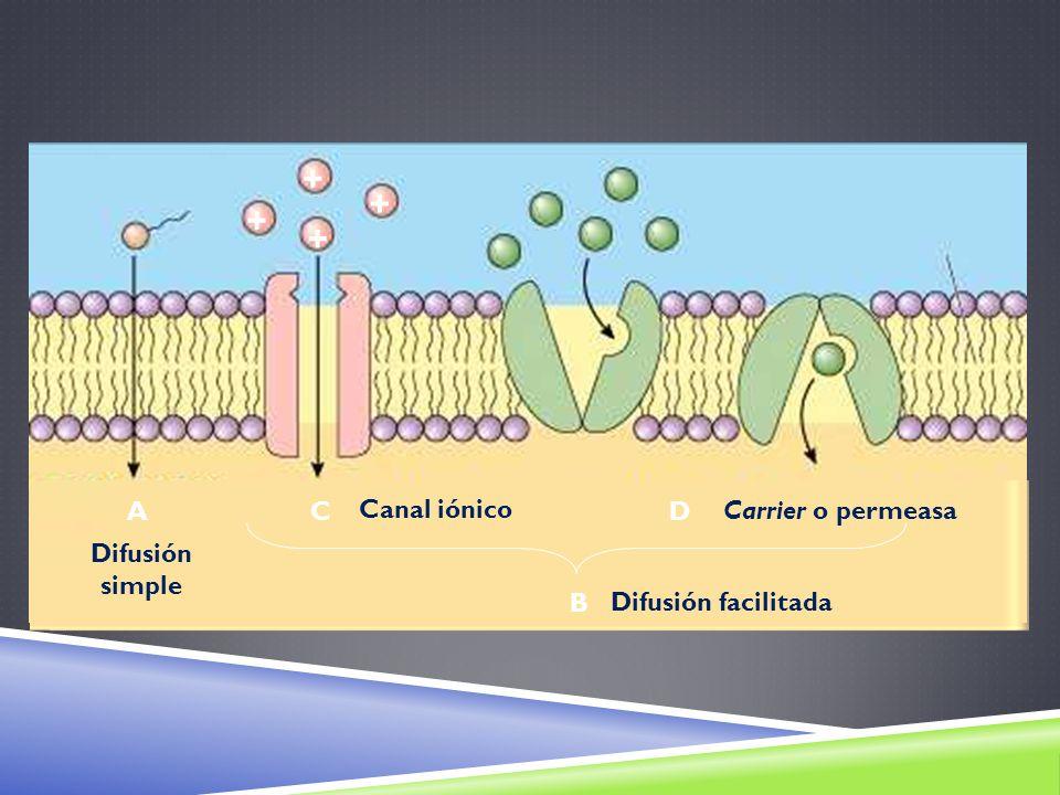 + A C Canal iónico D Carrier o permeasa Difusión simple B