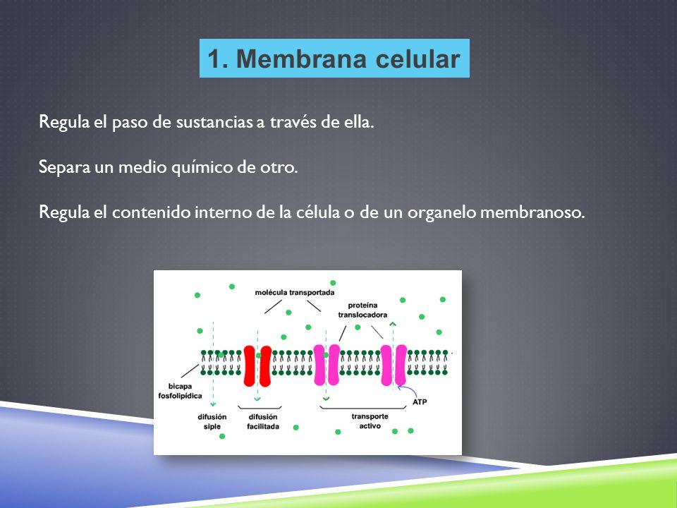 1. Membrana celular Regula el paso de sustancias a través de ella.