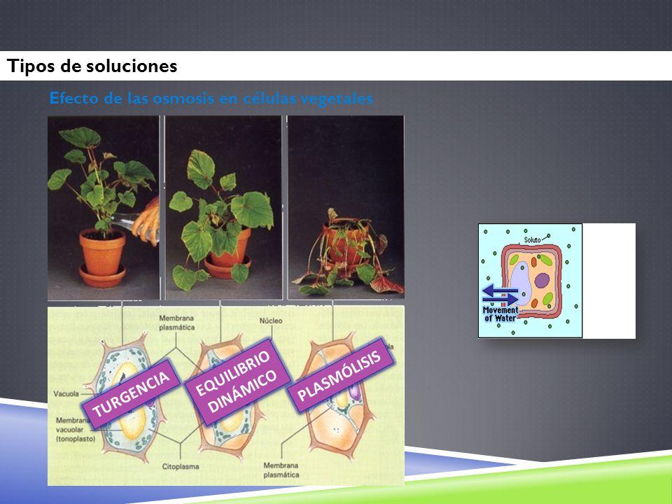 Tipos de soluciones Efecto de las osmosis en células vegetales