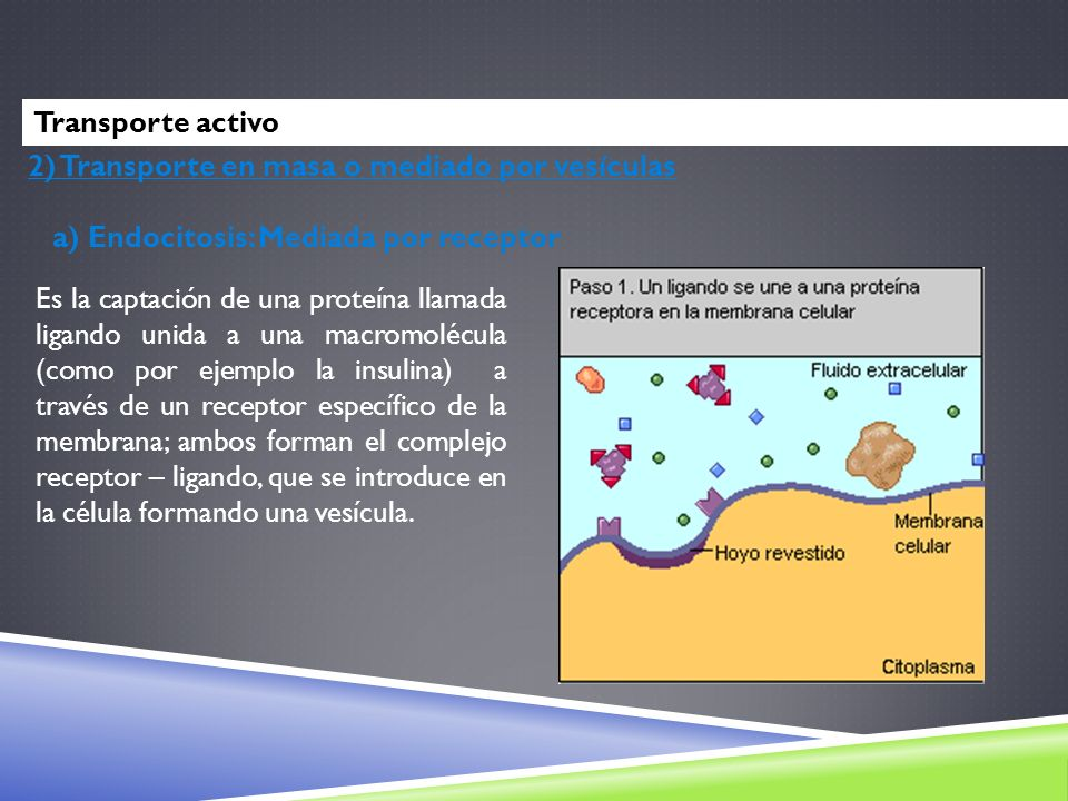 Transporte activo2) Transporte en masa o mediado por vesículas. a) Endocitosis: Mediada por receptor.