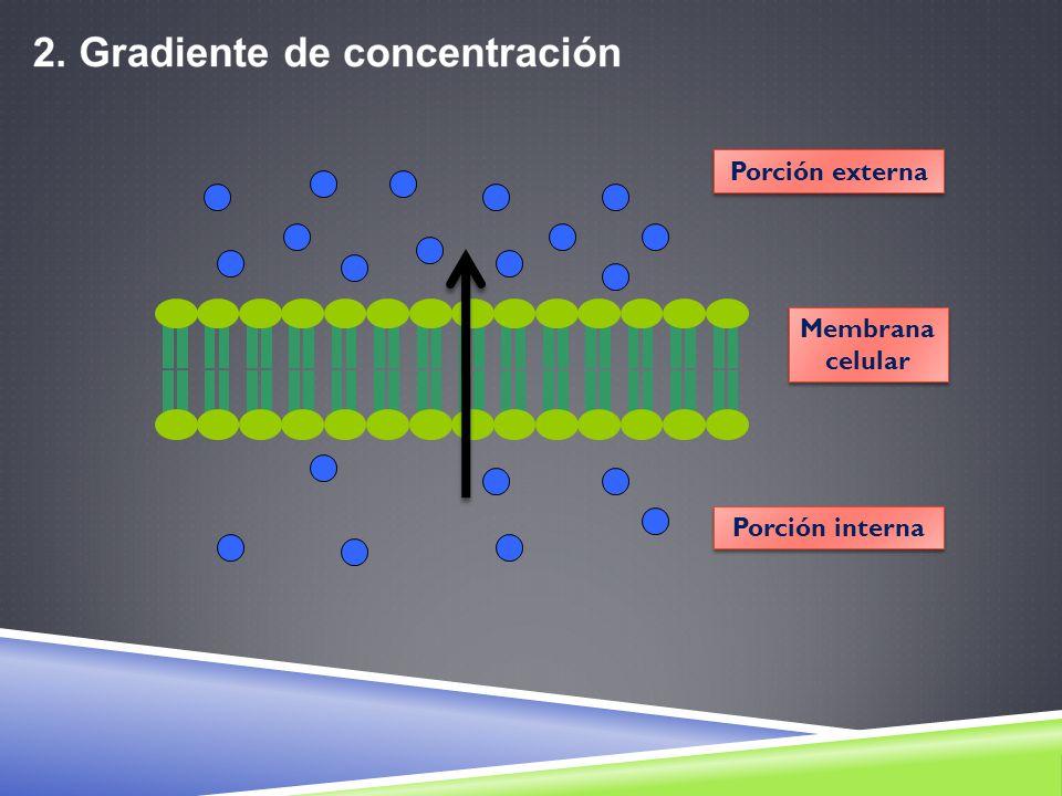Porción externa Membrana celular Porción interna