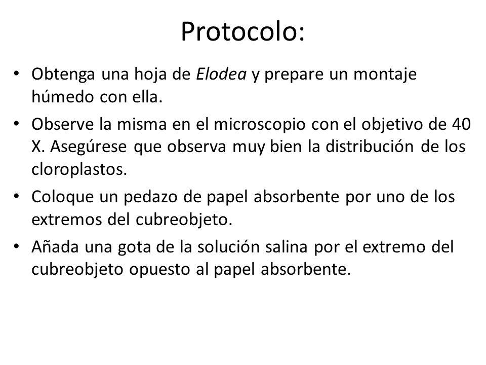 Protocolo: Obtenga una hoja de Elodea y prepare un montaje húmedo con ella.