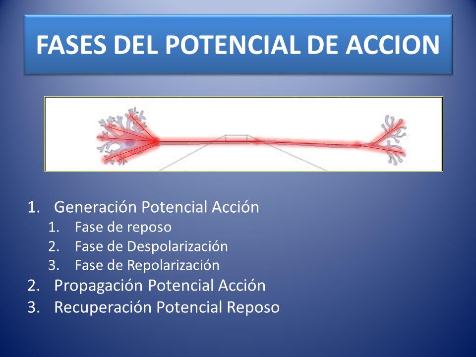 FASES DEL POTENCIAL DE ACCION