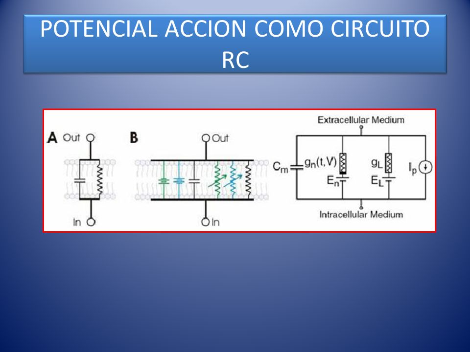 POTENCIAL ACCION COMO CIRCUITO RC