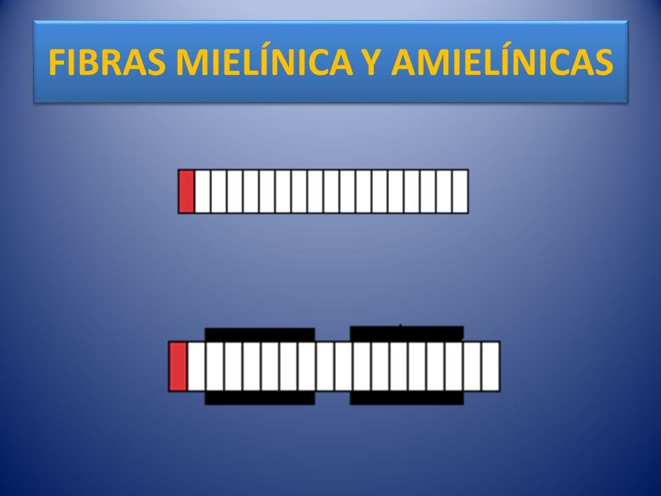 FIBRAS MIELÍNICA Y AMIELÍNICAS
