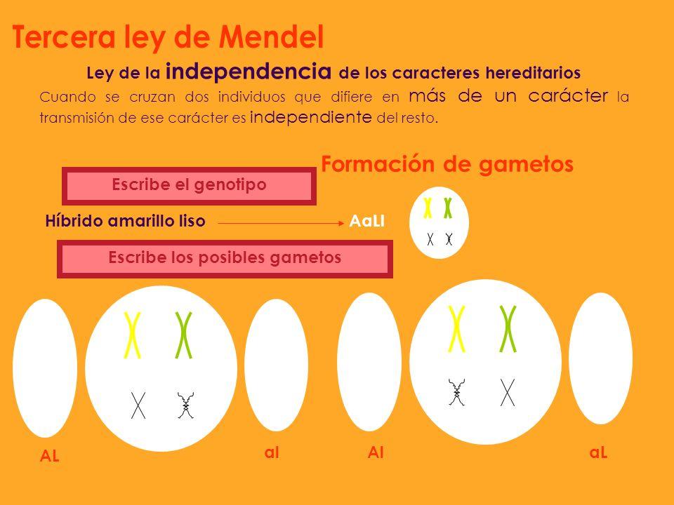 Tercera ley de Mendel Formación de gametos