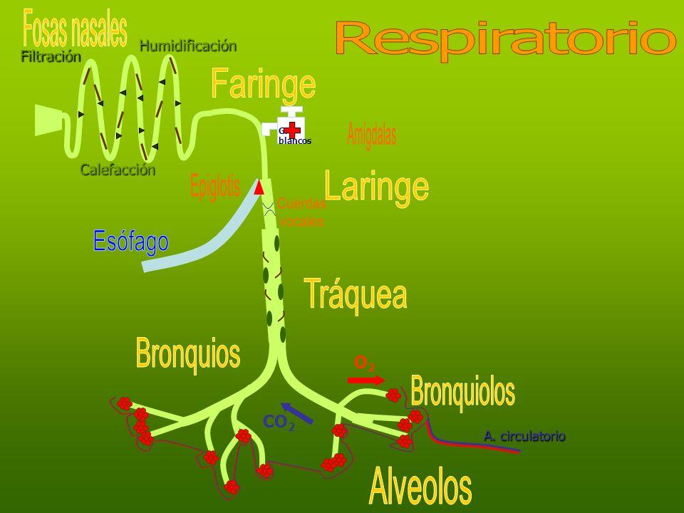 Fosas nasales Respiratorio Faringe Amígdalas Laringe Epiglotis Cuerdas