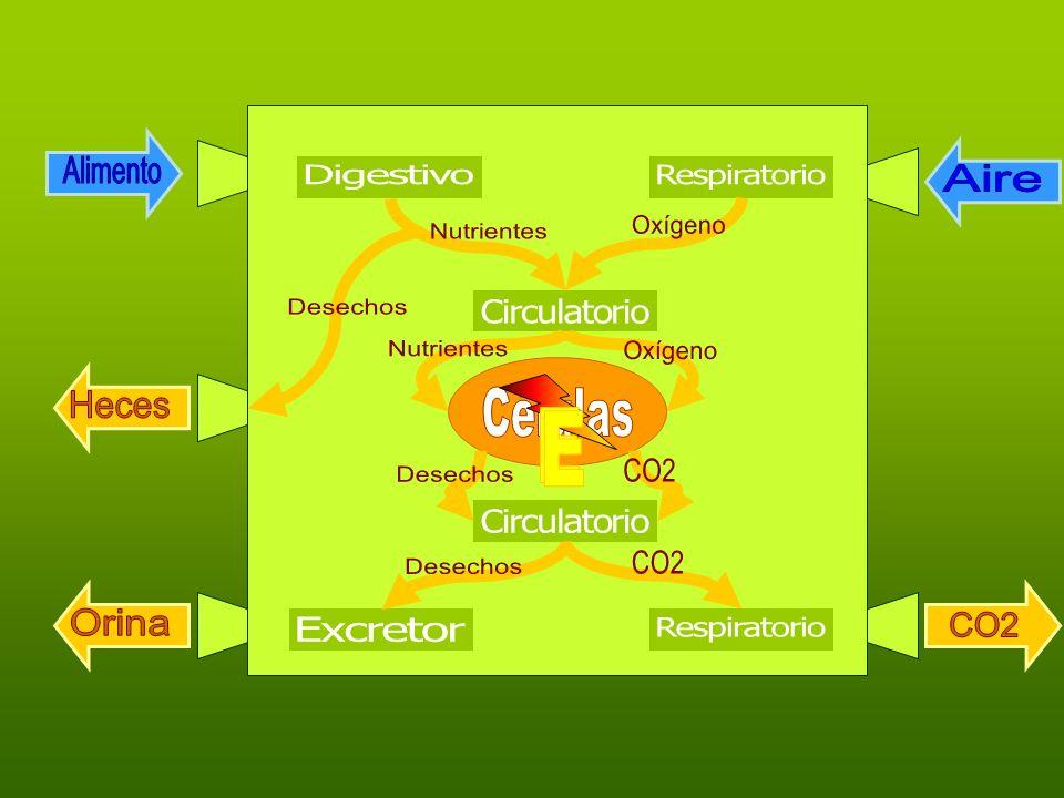 AlimentoAire. Digestivo. Respiratorio. Oxígeno. Nutrientes. Desechos. Circulatorio. Nutrientes. Oxígeno.