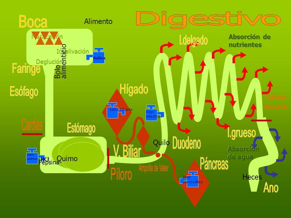 Digestivo Boca I.delgado Faringe Hígado Esófago Válvula ileocecal