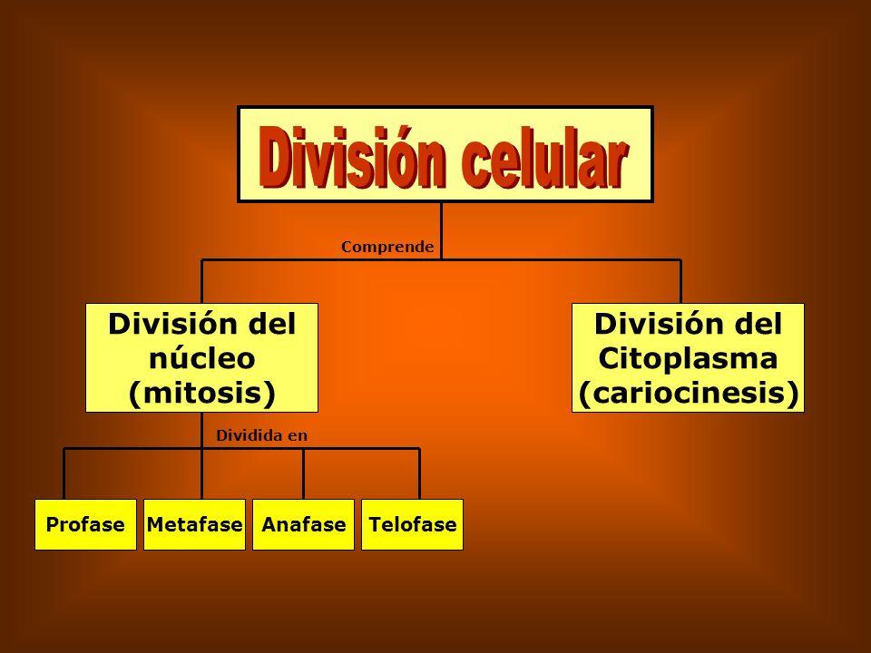 División celular División del núcleo (mitosis) División del Citoplasma
