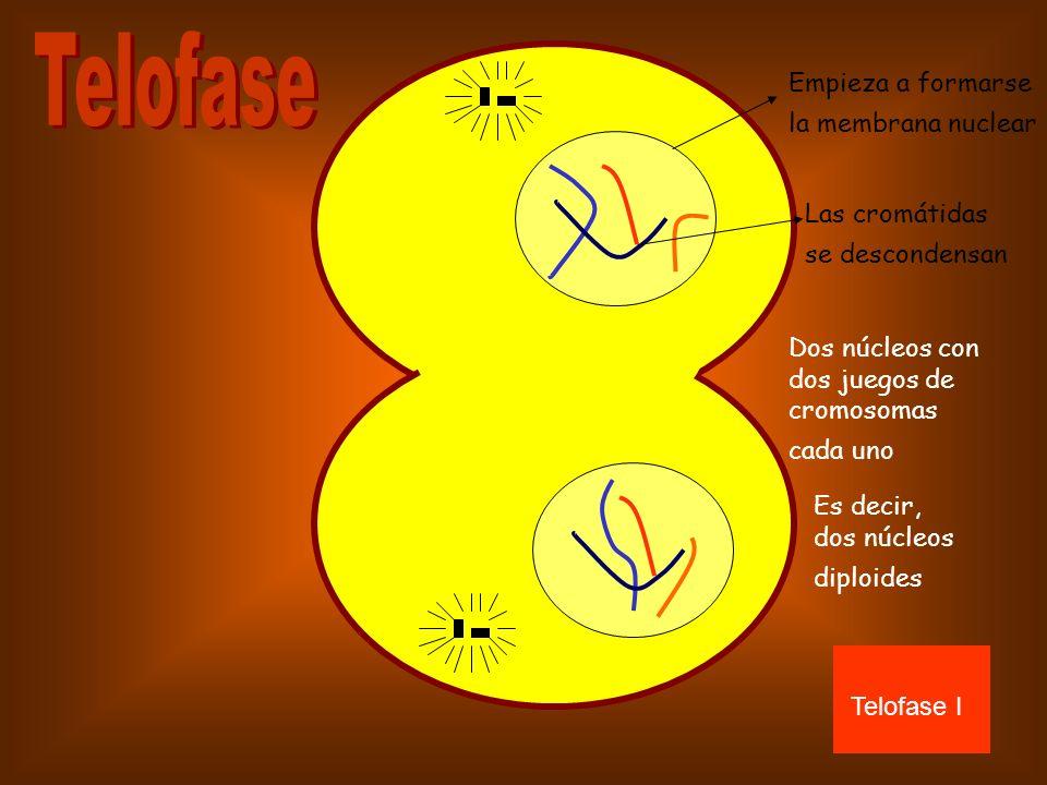 Telofase Empieza a formarse la membrana nuclear Las cromátidas