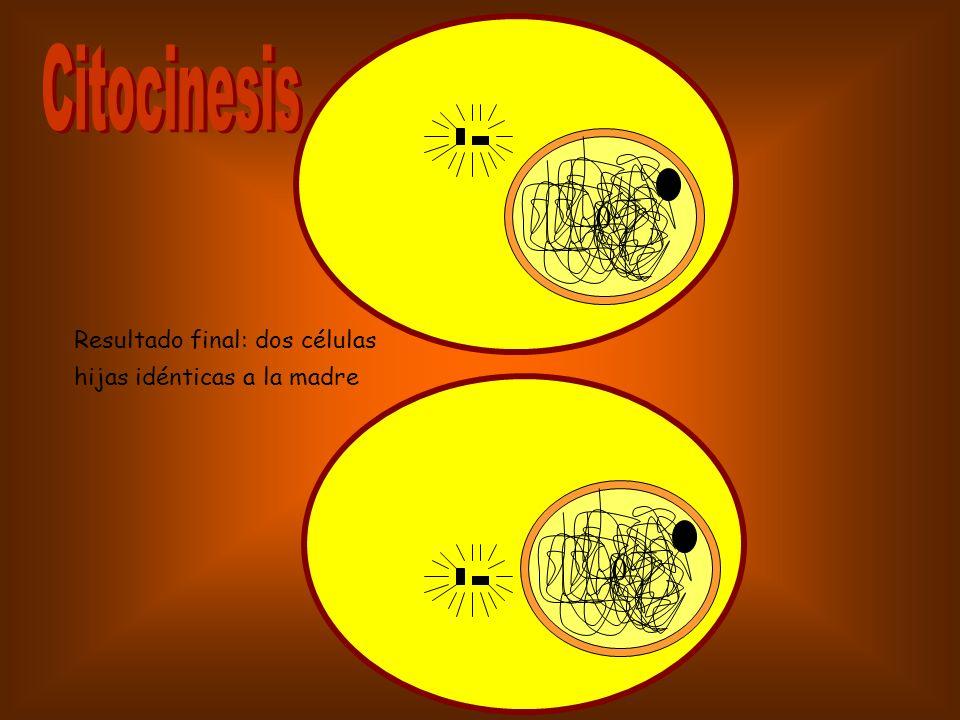 Citocinesis Resultado final: dos células hijas idénticas a la madre