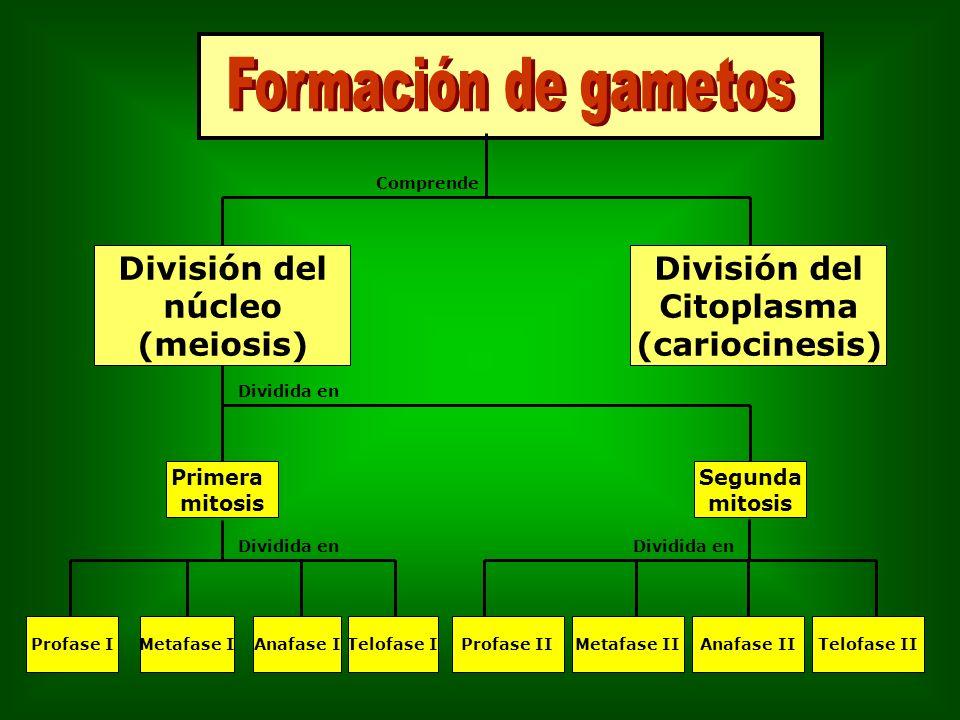Formación de gametos División del núcleo (meiosis) División del