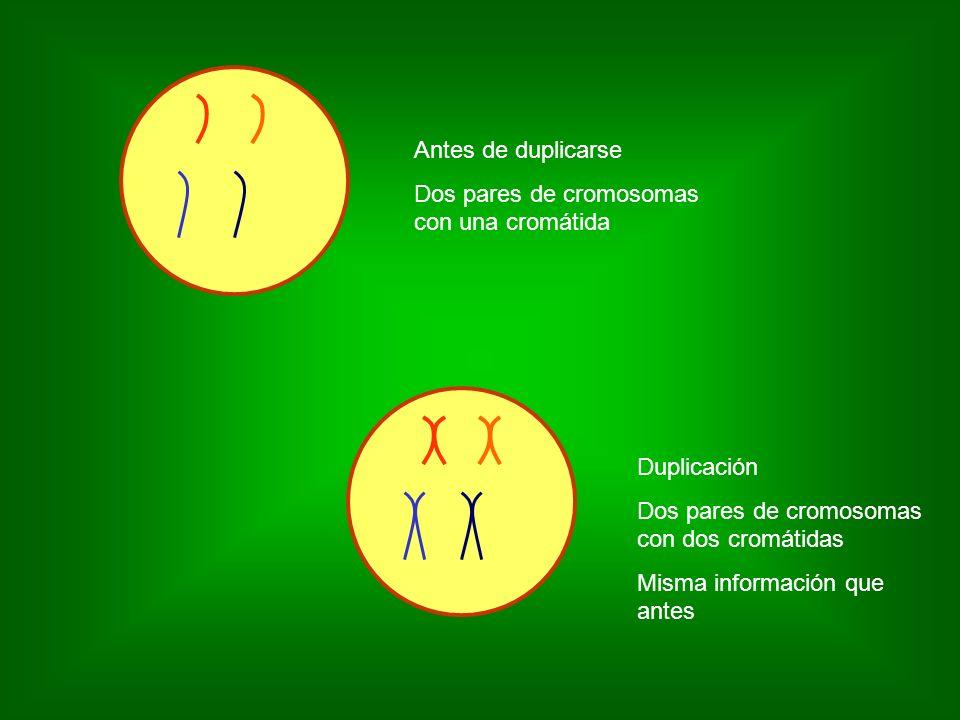 Antes de duplicarseDos pares de cromosomas con una cromátida. Duplicación. Dos pares de cromosomas con dos cromátidas.