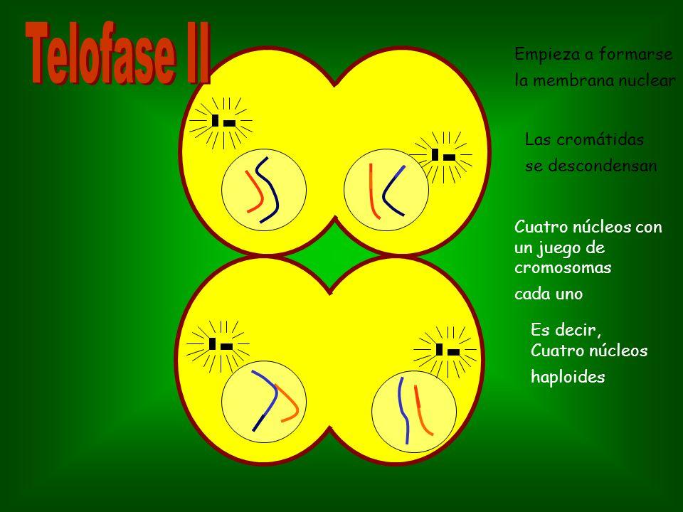 Telofase II Empieza a formarse la membrana nuclear Las cromátidas