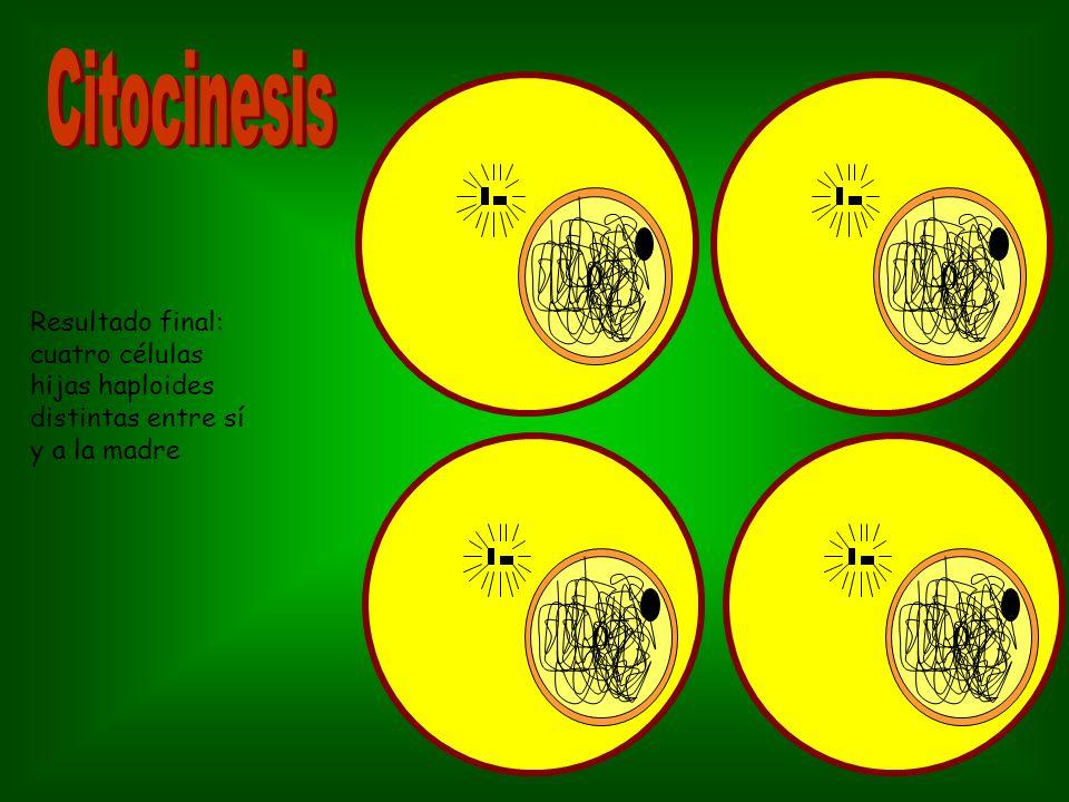 Citocinesis Resultado final: cuatro células hijas haploides