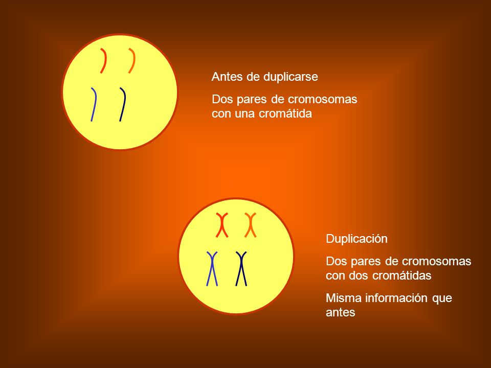 Antes de duplicarse Dos pares de cromosomas con una cromátida. Duplicación. Dos pares de cromosomas con dos cromátidas.