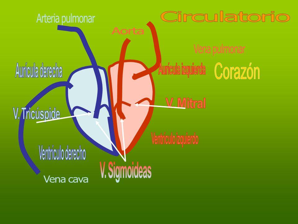 Circulatorio Arteria pulmonar. Aorta. Vena pulmonar. Aurícula derecha. Aurícula izquierda. Corazón.