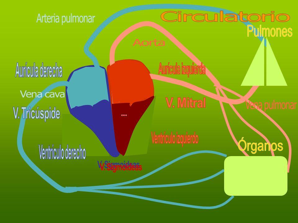 Circulatorio Arteria pulmonar. Pulmones. Aorta. Aurícula derecha. Aurícula izquierda. Vena cava.