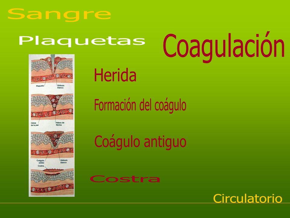 Sangre Coagulación Plaquetas Herida Formación del coágulo Coágulo antiguo Costra Circulatorio