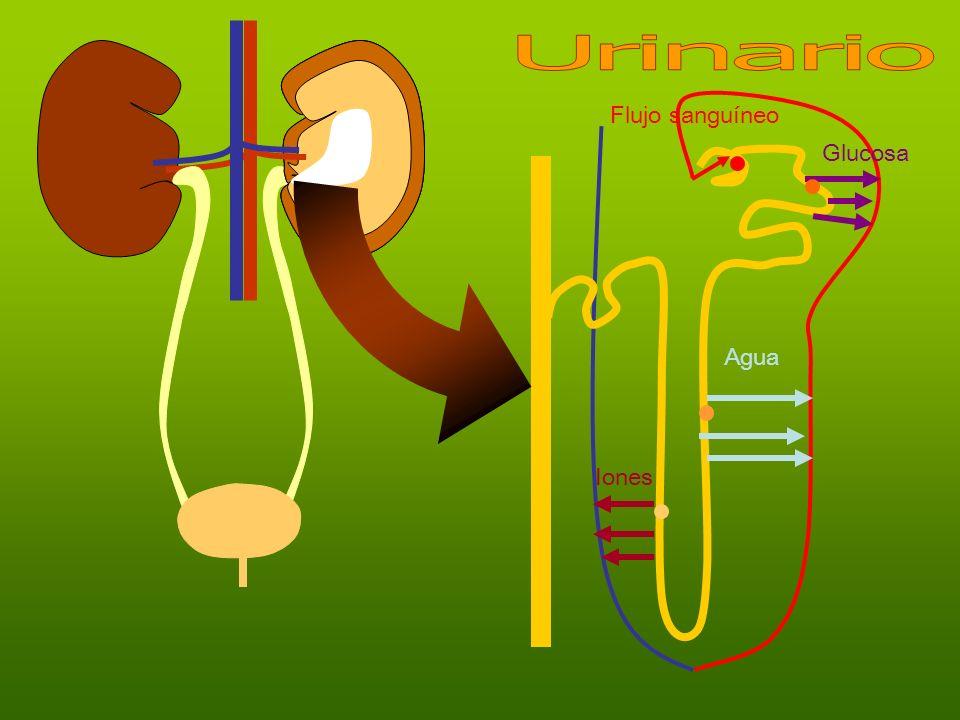 Urinario Flujo sanguíneo Glucosa Agua Iones