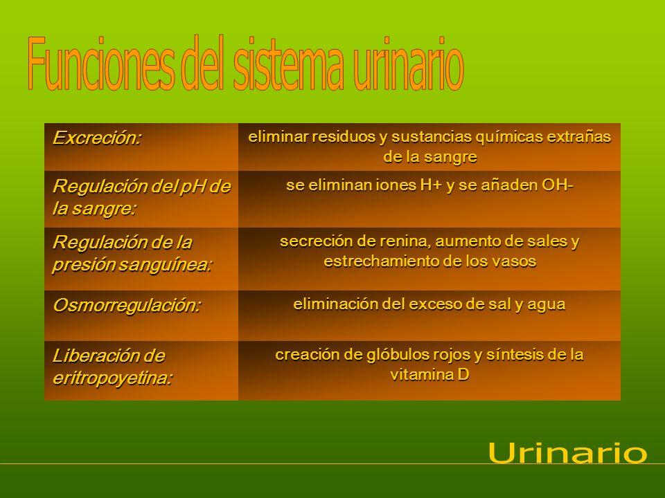 Funciones del sistema urinario