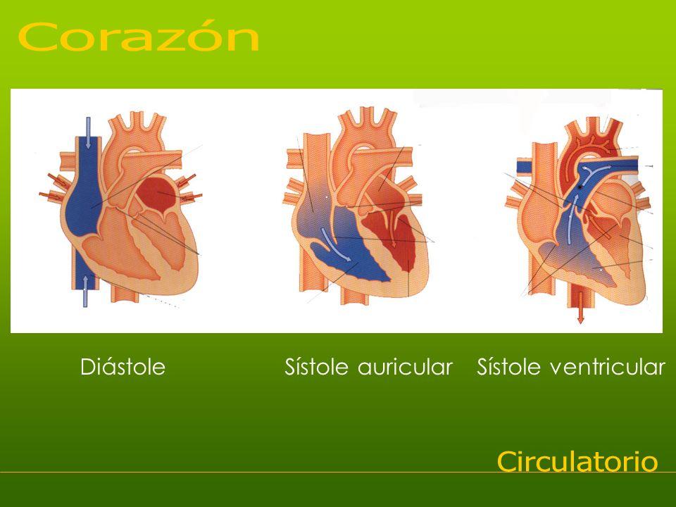 Corazón Diástole Sístole auricular Sístole ventricular Circulatorio